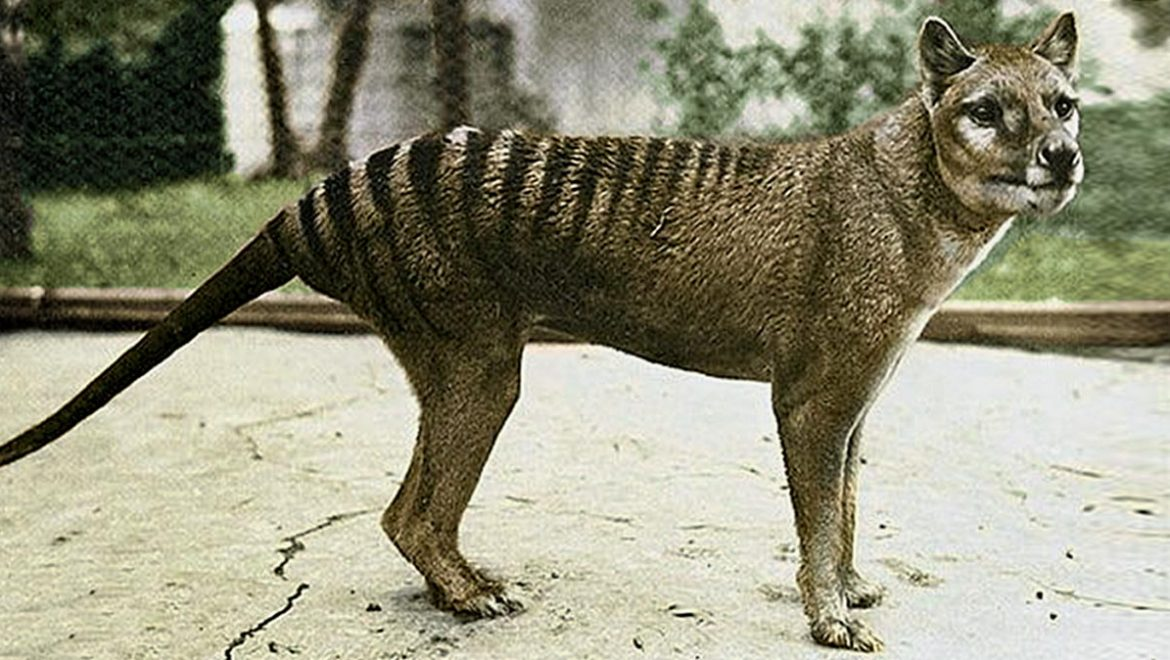 Top Facts About Tasmanian Tigers